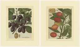 858 Twee chromolitho's van de pruimensoorten, Haus Zwetsche en Königin Victoria , met beschrijvingen en foto's