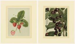 859 Twee chromolitho's van een aardbeiensoort, Deutsch Evern, en een kersensoort, Coburger Maiherzkirschen, met ...