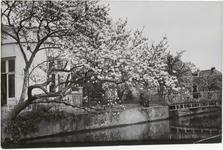 M 12118 Een bloeiende Magnolia aan de waterkant in Tiel bij de Witte Brug