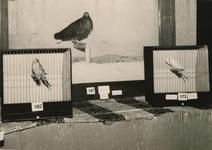 M 833 De fraaie vogelshow trekt veel belangstelling. Deze wordt georganiseerd door de Tielse Vogelliefhebbersvereniging