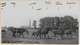 05_016_R_01 Weidegang De Rijswaard. van links naar rechts: Liberty Belle, Belle d'Or, Col di Campo, Urrack, Nisouka ...